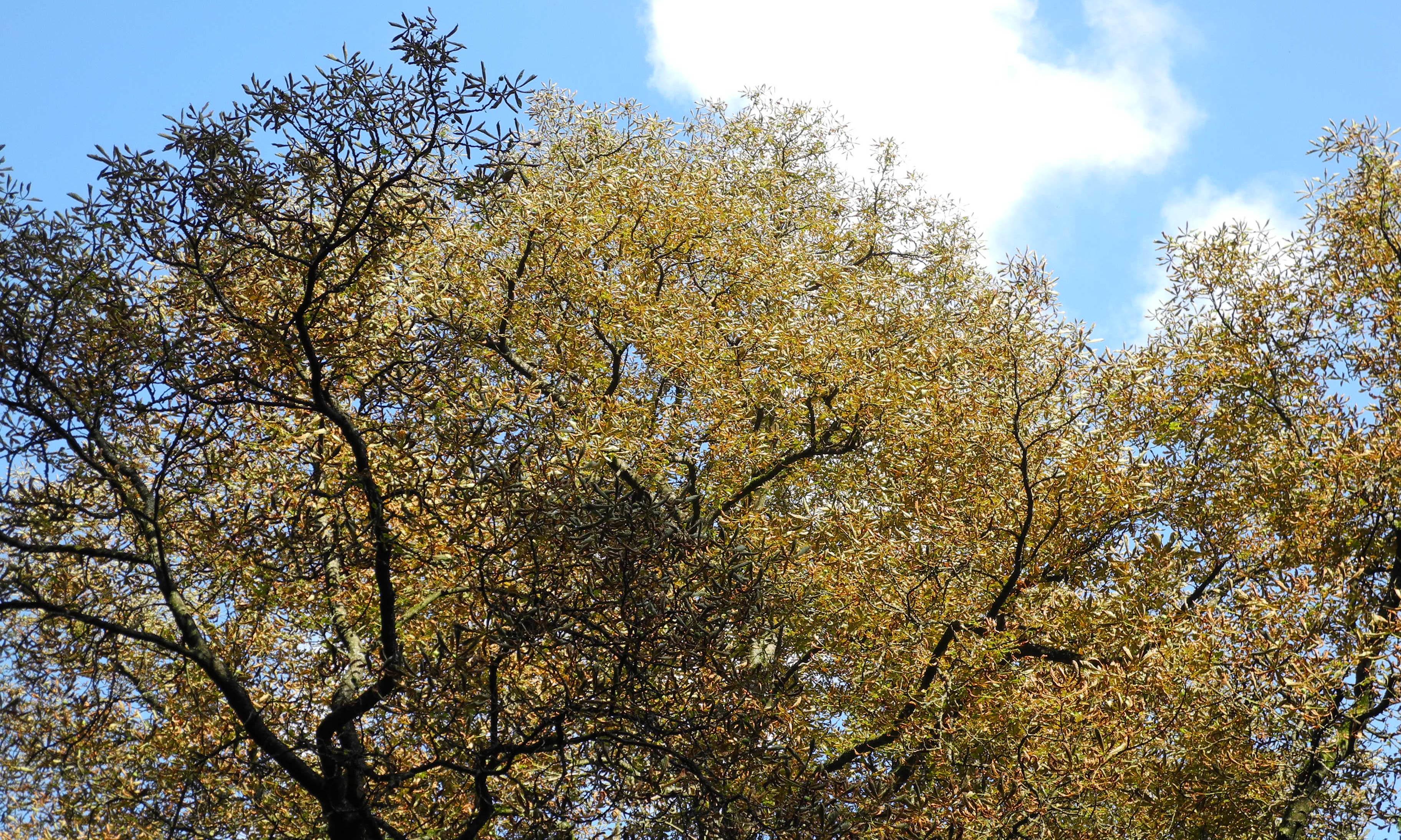 Baumkrone eines Kastanienbaums mit blauen Himmel